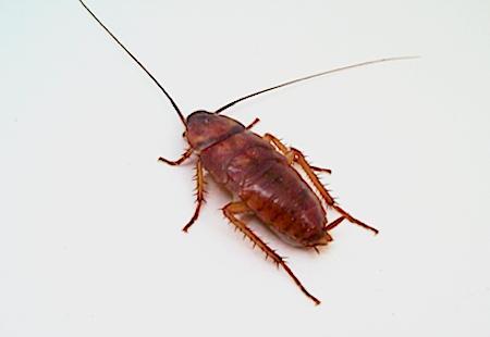 Bekæmpelse af kakerlakker