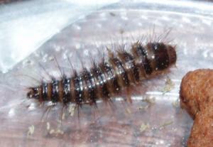Klanner larve