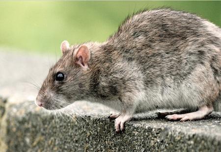 Rotte Rottebekæmpelse