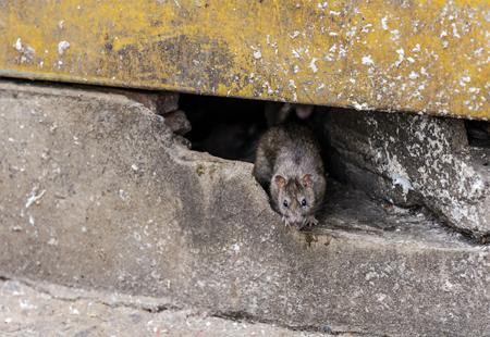 Undgå rotter i dit hjem