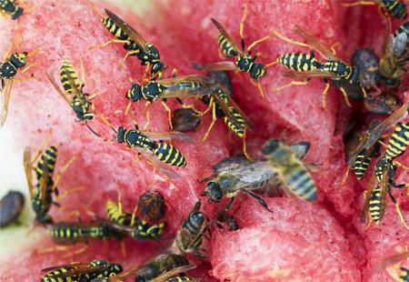 Hvepse og bier