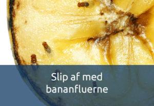 Undgå bananfluer